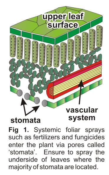 plant-stomata_2