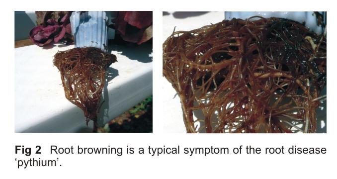 pythium-in-hydroponics